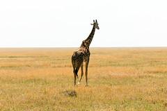 Masai Giraffe (Ralph Apeldoorn) Tags: giraffe mammal masaigiraffe nationalpark serengeti serengetinationalpark simiya tanzania tz