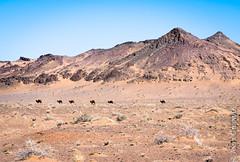 Camels in the Gobi Desert (joeri-c) Tags: camel mountain gobi desert gobidesert arid dry travel nomad nomadic tourism mongolia asia barren nikon d750 nikond750 85mm