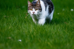 Hunting (Mikon Walters) Tags: hunting cat stealthy sneaky kitten kitty pets pet animal animals creatures creature living things garden outdoors nature wildlife wild life nikon d5600 sigma 150600mm contemporary super zoom lens photography close up prowl prowling