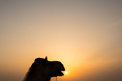 Here Comes The Sun, India (Geraint Rowland Photography) Tags: fun funny animal animals cute camel camelsoffindia canonindia visitindia exploreindia jaisalmerinrajasthan india sunset settingsun takingsilhouettephotos travelblogging traveladtakephotos rajasthanphotography sky minimal wwwgeraintrowlandcouk zsoltschullerportrait yawn herecomesthesun thebeatles love
