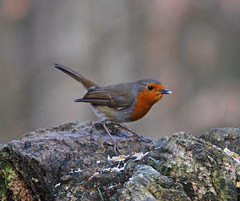 Robin feeding (Halliwell_Michael ## Offline mostlyl ##) Tags: brighouse westyorkshire nikond40x 2019 calderhebblecanal cromwellbottom robin birds naturereserve feeding