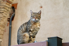 Empordà_0099 (Joanbrebo) Tags: castellódempúries lempordà girona españa canoneos70d eosd efs18135mmf3556is autofocus gat gato chat cat animals animales
