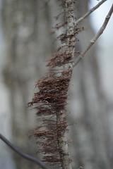 Poison Ivy Poised for Spring (timvandenhoek1) Tags: poisonivy vine backyard timvandenhoek midwest missouri sonyilce6000 fotasymda7iiadapter minoltamdrokkorx50mmf14 climbing creeping roots