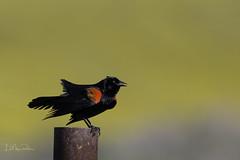 Singing Red-winged Blackbird (Lisa Roeder) Tags: redwingedblackbird blackbird birds wildlife nature carrizo carraizoplain