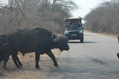 Buffalo Herd Crossing the Road (Rckr88) Tags: krugernationalpark southafrica kruger national park south africa buffalo crossing road buffalocrossingtheroad herd buffaloherdcrossingtheroad roads animals animal naturalworld nature outdoors wilderness wildlife safari