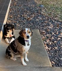 Maggie Mae and Rueger Vance (Mostly Moose Alaska) Tags: australian shepard aussie beagle bluemerle blacktri puppies dogs