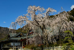 Drooping cherry blossoms in a temple (takashi muramatsu) Tags: cherryblossoms kuonji minobu japan nikon d850 身延山久遠寺 久遠寺 久遠寺桜 桜 サクラ