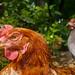 Free-range hens at an organic farm