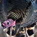 Curious Wild Turkey