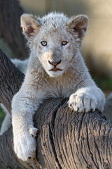 This white lion cub knows how to pose