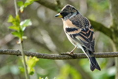 Brambling (sumowesley) Tags: bird brambling fauna nature oldmoor
