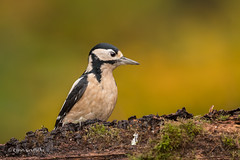 Great Spotted Woodpecker D85_7117.jpg (Mobile Lynn) Tags: nature greatspottedwoodpecker birds woodpecker bird dendrocoposmajor fauna forest picidae piciformes tree wildlife