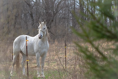 Spirit horse (mpalmer934) Tags: equine horse pine farm fence