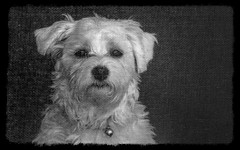 but seriously mom... (Dotsy McCurly) Tags: happycrazytuesday hct blackandwhite monotone yard screen door bunny cute dog puppy maltese funny face expresssion nikond850