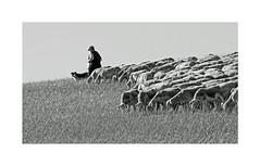 Sur le causse (Yvan LEMEUR) Tags: aveyron berger brebis pastoralisme elevage causse nature nb noiretblanc bw blackandwhite troupeau extérieur millau