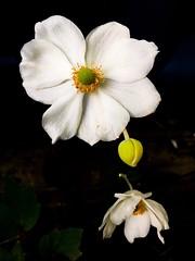 86/365 Japanese windflowers (Anemone x hybrida) (retrokatz) Tags: 365the2019edition 3652019 day86365 27mar19