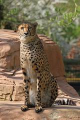 Cheetah (Buggers1962) Tags: cheetah bigcat nature canon colchesterzoo cat feline carnivore explore