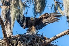 American Bald Eagle Landing with Moss (dbadair) Tags: outdoor nature wildlife 7dm2 canon florida bird