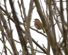 Sing song time (charlottejarvis@live.co.uk) Tags: wildlife canon buckinghamshire garden sing gardenbird robin