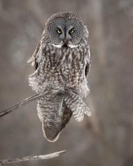 Great Grey Owl : The look. (dwb838) Tags: wind greatgrayowl tree 8x10