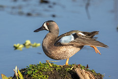 Early morning yoga! (Linda Martin Photography) Tags: bird circleb usa anasdiscors wildlife bluewingedteal nature florida explore naturethroughthelens coth alittlebeauty specanimal coth5 ngc npc