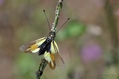 Libelloides cunii (Sélys-Longchamps, 1880) (ajmtster) Tags: macrofotografía macro insecto invertebrados libelloides ascalaphidae neuroptera libelloidescunii cunii amt sundaylights