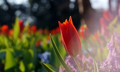 (farmspeedracer) Tags: nature april 2019 avril park germany light ray spring frühling joy flower blume tulip tulpe rouge red rot contrast garden