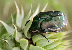 Beetle Foraging (cowyeow) Tags: armenia caucuses nature meadow composition macro insect insects wildlife beetle iridescent green bugs bug
