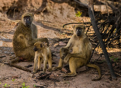 Baboon Family (selvagedavid38) Tags: monkey ape baboon primate africa safari botswana family troop shade chobe stare