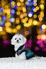 LR-DSC_8749 (studiofuntas) Tags: 犬 dog マルチーズ maltese 犬写真家 dogphoto illumination イルミネーション 大阪 osaka studiofuntas funtas スタジオファンタス ファンタス 出張撮影 撮影 地方遠征 スタジオ撮影 removedfromstrobistpool nostrobistinfo seerule2 ロケーション撮影 リクエスト撮影 locationphoto locationshooting