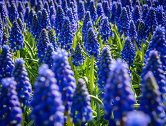 Spring (bransch.photography) Tags: fresh grape bunch color flowers season closeup floral flower spring beauty purple plant nature bouquet garden natural blue colorful lovely flora hyacinth green architecturalelement violet fragility blooming bloom beautiful springtime blossom colour