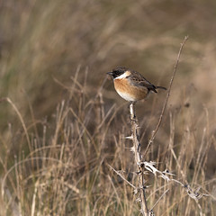 339 (robwiddowson) Tags: stonechat bird birds nature robertwiddowson photography art