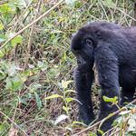 Femmina di gorilla di montagna, Bwindi Impenetrable Forest, Uganda