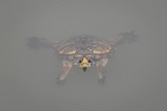 "Western Pond Turtle (Actinemys marmorata) (Zachary Cava) Tags: ""centralvalley"" wildlife westernpondturtle actinemysmarmorata pondturtle pacificpondturtle northwesternpondturtle turtle reptile aquatic herpetology malewesternpondturtle animalia chordata reptilia testudines emydidae emys actinemys"