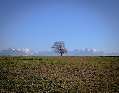 48/365 Field, tree, mountain (Árni Svanur Daníelsson) Tags: 365the2019edition branches baretree tree field spring snow white mountain montblanc alps