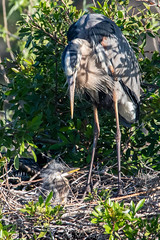 Great Blue Heron and Chick (DonMiller_ToGo) Tags: greatblueherons wildlife venicerookery rookery nature onawalk heron outdoors animals birdwatching d810 birds florida