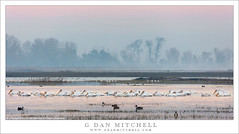White Pelicans, Pond (G Dan Mitchell) Tags: mnwr nature california usa north america sanjoaquin central valley white pelican flock row swim pond water fog trees morning wildlife birds