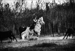 L'agilité face à la puissance... / Agility against power... (vedebe) Tags: chevaux taureaux animaux camargue gardians france noiretblanc netb nb bw monochrome