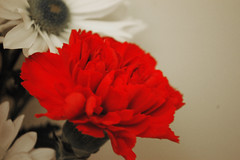 Carnation And Daisies. (dccradio) Tags: lumberton nc northcarolina robesoncounty indoor indoors inside flower floral flowers bouquet valentinesdaybouquet valentinesday carnation daisy february winter morning saturday saturdaymorning goodmorning nikon d40 dslr white pink red