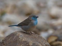 Blue Waxbill (Oleg Chernyshov) Tags: ангольскийастрильд голубойастрильд bluebreastedcordonbleu bluewaxbill uraeginthusangolensis