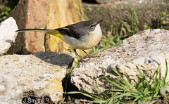Grey wagtail (Lynyrd J Smith) Tags: grey wagtail birds nature wildlife eastbourne tamron d3300 150600mm