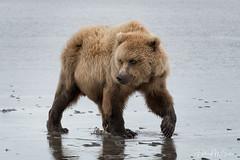 _2CD3937 (Hilary Bralove) Tags: lakeclarknationalparkbrownbearsbearsalaskanikonwildlifegrizzlygrizzlybearbrownbearanimalswildlifephotographerclamming alaksa brownbears grizzlybears bear bears grizzly brownbeargrizzly bearlake clarkwildlifealaska wildlifenikonlake clark national park
