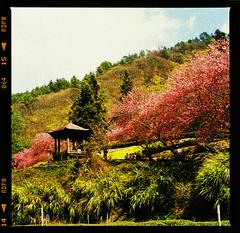 Cherry blossom (Jeanhom Chen) Tags: hasselblad 500cm zeissplanart✻80mmf28cf fujifilm provia100f rdpiii 武陵農場 cherryblossom 櫻花