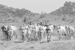 Shanu (Irene Becker) Tags: africa arewa imagesofnigeria kaduna kadunastate landscape nigeria nigerianimages nigerianphotos northnigeria westafrica fulani herding northernnigeria village