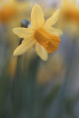 Chanson de Printemps (shawn~white) Tags: 100mm canon6d dxofilmpack ef100mmf28macro macro narcissus bokeh closeup daffodil demure dreamy elegance filmlook floral flower garden glowing harmonious idyllic joy peaceful serene serenity spring warmth ©shawnwhite