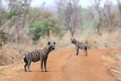 Hyena (Jonas Van de Voorde) Tags: pendjari benin westafrica safari wildlife jonasvandevoorde hyena hyene crocutacrocuta