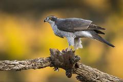 Goshawk (Bill Richmond) Tags: goshawk northern accipitergentilis accipitridae accipitriformes birdsofprey raptors spain nikond810 nikon500f4 male