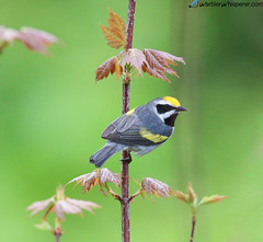 Golden-winged Warbler (geno k) Tags: goldenwingedwarbler michigan michiganphotojourney warbler