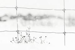 weather the storm (rockinmonique) Tags: myneighbourhood fence snow white highkey grasses moniquewphotography canon canont6s tamron tamron45mm copyright2019moniquewphotography