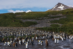 Penguins all the way (Tim Melling) Tags: aptenodytespatagonicus king penguins penguin breeding colony salisbury plain south georgia timmelling
